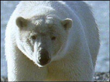 Polar Bear from John Coleman's global warming scam presentation.